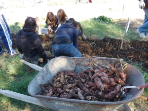 Wheelbarrow full of yams