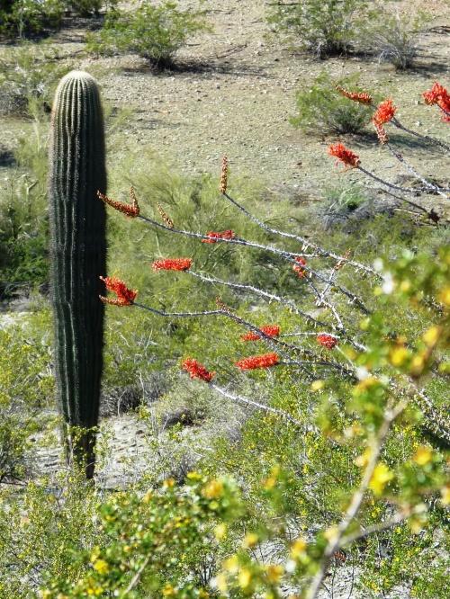 Saguaro and flowering desert