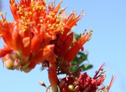 Ocotillo flower close up