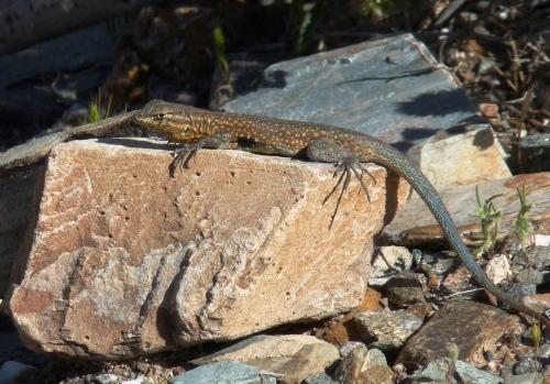 lizard in Phoenix Mountain Preserve