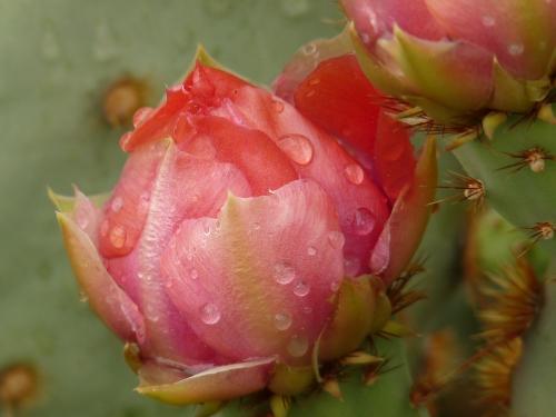 cactus flower with rain
