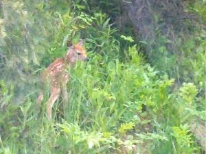 Baby deer in Montana
