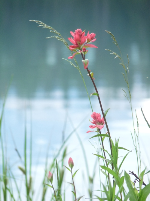 indian paintbrush at Emerald Lake