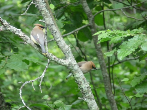 Cedar waxwings along the Skunk Cabbage Trail