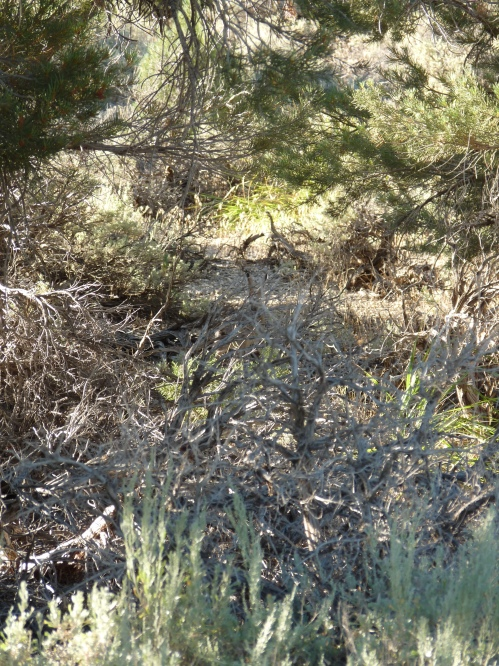 jack-rabbit in Great Basin National Park