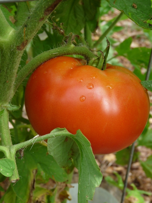 tomato on the vine