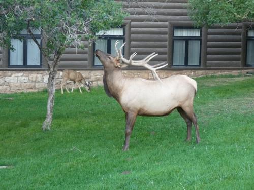 elk at El Tovar Lodge