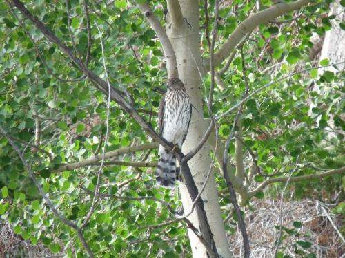 Hawk on Aspen tree