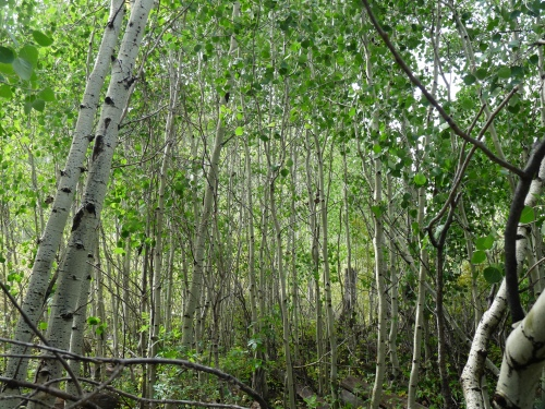 Aspen stand in Fishlake National Forest