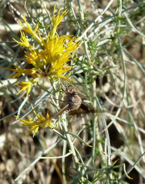 Moth on flower in North Fruita desert