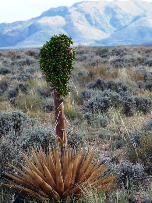 yucca with Saddle Mountain in background