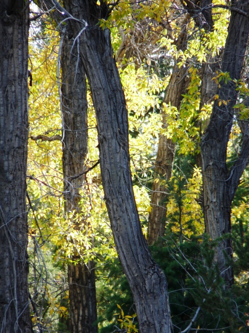 Cottonwood trees in Fall