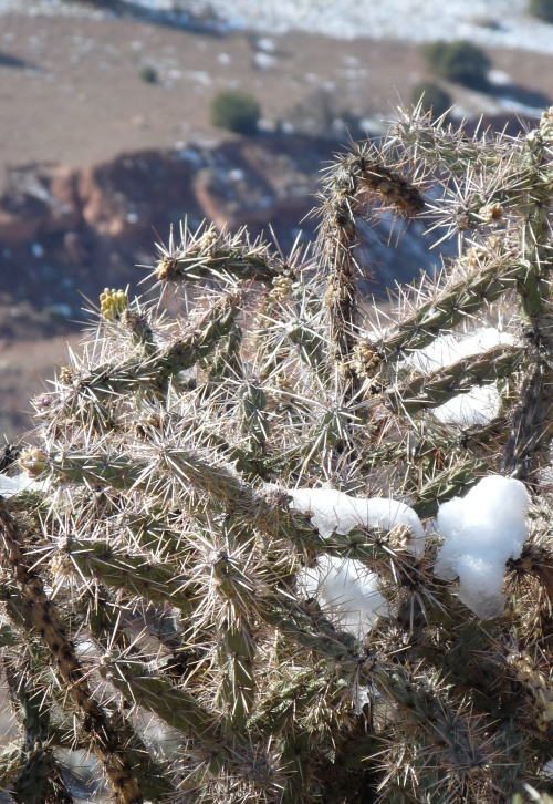 snow on cactus in Canon City