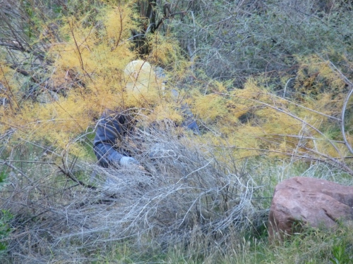 Michael (volunteer) hidden behind a large tamarisk tree