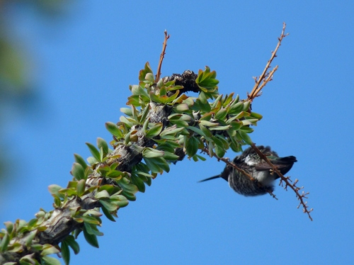 Hummingbird on Ocotillo