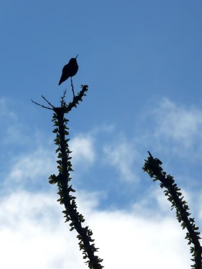 hummingbird on ocotillo