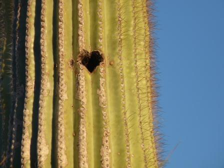 heart shaped hole on saguaro cactus