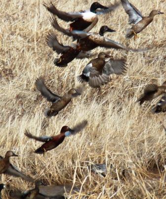 ducks in flight