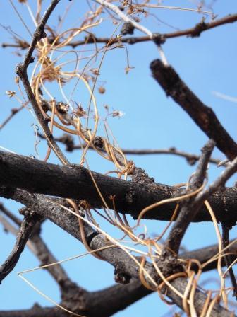 vine twisted around tree in desert