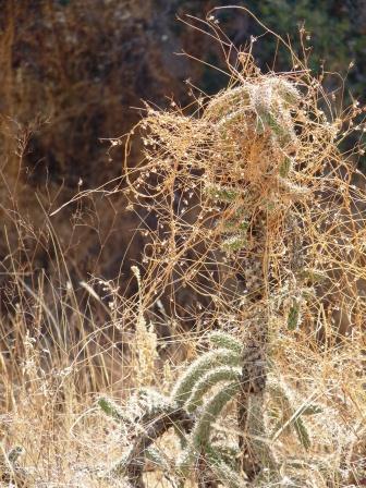 cactus with vine