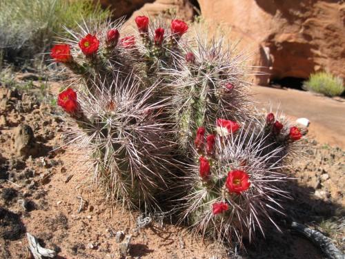 Small blooming Mammillaria cacti